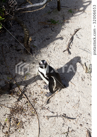 African penguin from Simon's town conservancy area 32006653