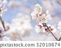ดอกพลัม (พลัมสีขาว) 32010674