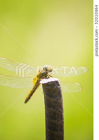 休息 停 黃蜻蜓 綠背景 昆蟲 薄翅蜻蜓 32010964