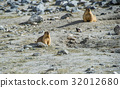 animal and wildlife,marmot 32012680