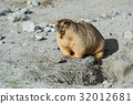 animal and wildlife,marmot 32012681