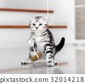 Cute American shorthair cat kitten 32014218