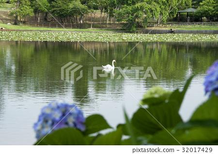 天鹅在冈崎市南公园 32017429