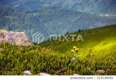 Dandelions among the rocks on hillside 32018690