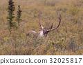 Barren Ground Caribou Bull 32025817