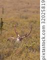 Barren Ground Caribou Bull 32025819