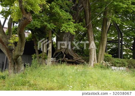운용 신사의 녹나무 (아이 치현 나고야시) 32038067