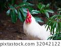 chicken, chickens, bird 32042122
