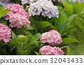 bloom, blossom, blossoms 32043433