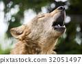 신린 늑대의 울부 짖음 32051497