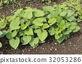 紅薯 原野 田地 32053286