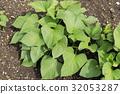 紅薯 原野 田地 32053287