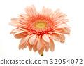 Pink gerbera 32054072