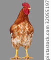 Brown rooster on gray background, live chicken 32055197