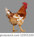 Brown rooster on gray background, live chicken 32055200
