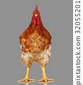Brown rooster on gray background, live chicken 32055201