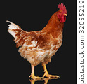 Brown rooster on black background, live chicken 32055219
