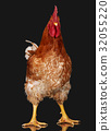 Brown rooster on black background, live chicken 32055220