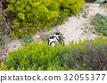 The African Penguin colony on Cape Peninsula 32055377