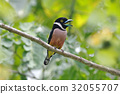 Black-and-Yellow Broadbill Cute Birds of Thailand 32055707