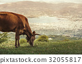 Cows graze on a meadow of mountain of Greece 32055817