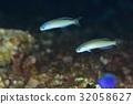魚 鹹水魚 海水魚 32058627