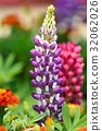 루피너스, 꽃, 플라워 32062026