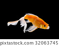 Goldfish isolated on black background 32063745