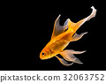 Goldfish isolated on black background 32063752