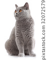 grey british short hair cat sitting 32072579