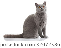 grey british short hair cat 32072586