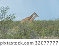 Southern giraffe 32077777