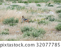 Black-backed jackal 32077785
