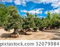 Pine trees on tree farm. 32079984