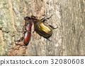 鋸齒狀的鹿角甲蟲 蟲子 漏洞 32080608