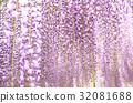 สวนดอกไม้ Ashaka ฟูจิบานสะพรั่ง 32081688