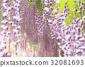 สวนดอกไม้ Ashaka ฟูจิบานสะพรั่ง 32081693