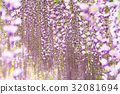 สวนดอกไม้ Ashaka ฟูจิบานสะพรั่ง 32081694