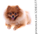 brown pomeranian dog isolated on white background 32083377