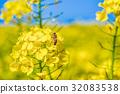 유채, 평지꽃, 유채꽃 32083538