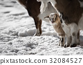 Small goat stands in the snow 32084527