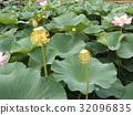 開花有Ogajasu黃色鬍子的盤子在千葉公園 32096835