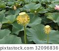 Ogajasu黃色花樹幹在千葉公園 32096836
