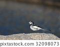 水鶺鴒 鳥兒 鳥 32098073