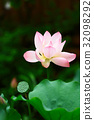 the pink Lotus and green leaf close up 32098292