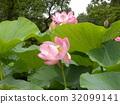 莲花 花朵 花卉 32099141