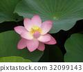 莲花 花朵 花卉 32099143
