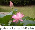 莲花 花朵 花卉 32099144