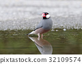 Java sparrow Cute Birds of Thailand 32109574