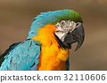Portrait of blue-and-yellow macaw, Ara ararauna 32110606